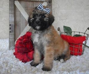 Saint Berdoodle Dog for Adoption in HONEY BROOK, Pennsylvania USA