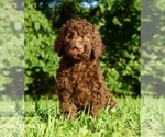 Puppy 5 Labradoodle-Poodle (Standard) Mix