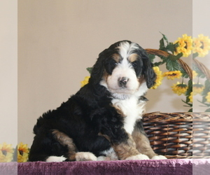 Bernedoodle-Poodle (Standard) Mix Puppy for sale in WASHINGTON BORO, PA, USA