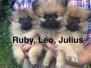 Pomeranian Puppy For Sale in MEDFORD, NJ