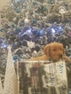Golden Retriever Puppy For Sale in NORTH AUGUSTA, SC, USA