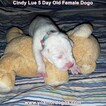 Small Photo #21 Dogo Argentino Puppy For Sale in PINEVILLE, MO, USA
