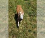 Small #18 Italian Greyhound