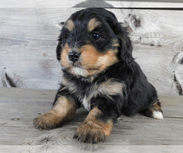Medium Photo #1 Bernedoodle Puppy For Sale in ORLANDO, FL, USA