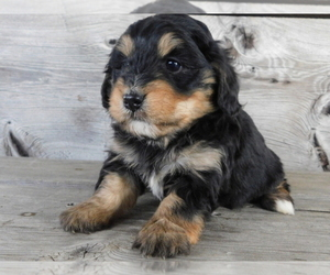 Bernedoodle Puppy for sale in ORLANDO, FL, USA