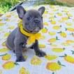 French Bulldog Puppy For Sale in MARYSVILLE, Washington,