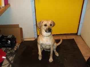Adele - Plott Hound / Plott Hound / Mixed Dog For Adoption