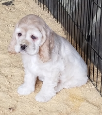 Cocker Spaniel Puppy For Sale in HARRISONVILLE, MO, USA
