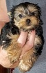 Yorkshire Terrier Puppy For Sale in YOUNGSTOWN, Florida,