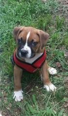 Boxer Puppy for sale in UPPER MARLBORO, MD, USA