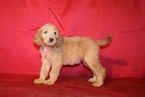 Labradoodle Puppy For Sale in ELLIJAY, GA