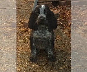 Bluetick Coonhound Puppy for sale in KALISPELL, MT, USA