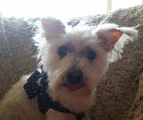 Bessie - Maltese (medium coat) Dog For Adoption