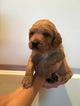 Brittany-Gordon Setter Mix Puppy For Sale in WOODLAND, WA, USA