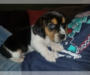 Beagle Puppy for Sale in HAVANA, Kansas USA