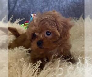 Shih-Poo Puppy for sale in OTTAWA, KS, USA