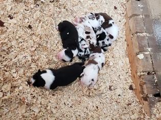 Australian Shepherd Puppy For Sale in CLINTON, MS, USA