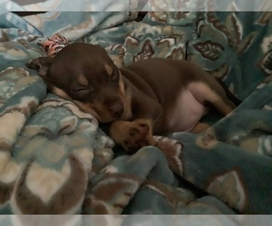 Chihuahua Puppy for sale in COAL CREEK, CO, USA