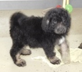 Miniature Bernedoodle Puppy For Sale in MIDDLEBURY, Indiana,