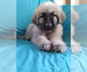 Great Pyrenees Puppy for Sale in YUCCA VALLEY, California USA