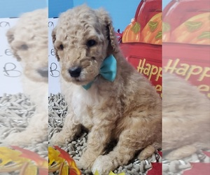 Poodle (Standard) Puppy for sale in DURANT, OK, USA