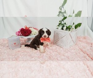 Aussie-Poo-Aussiedoodle Mix Puppy for Sale in COLLEGE STA, Texas USA