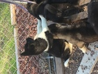 Akita Puppy For Sale in DURHAM, NC