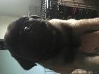 Puppy 5 Pug