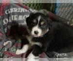 Puppy 9 Australian Shepherd