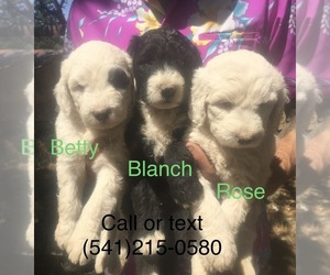 Sheepadoodle Puppy for sale in PORTLAND, OR, USA