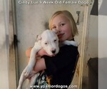 Small Photo #86 Dogo Argentino Puppy For Sale in PINEVILLE, MO, USA