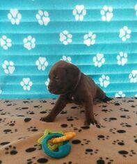 Mastador Dog for Adoption in VAB, Virginia USA