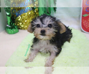 Morkie Dog for Adoption in LAS VEGAS, Nevada USA