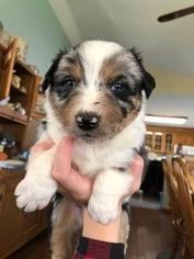 Australian Shepherd Puppy for Sale in GENOLA, Minnesota USA