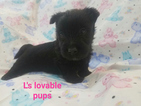 Akc limited female scottie