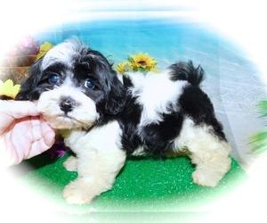 Shih Tzu Mix Puppy for Sale in HAMMOND, Indiana USA