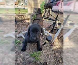 Labrador Retriever Puppy for Sale in NORTH LA JUNTA, Colorado USA