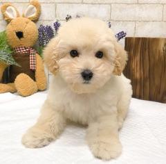 Poodle (Toy) Dog for Adoption in SEATTLE, Washington USA