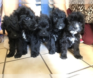 Goldendoodle Puppy for sale in WESTMINSTER, CA, USA