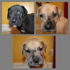 Great Dane Puppy For Sale in OKLAHOMA CITY, OK