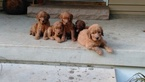Goldendoodle Puppy For Sale in MOSINEE, WI
