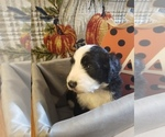 Small Photo #5 Bernedoodle-Goldendoodle Mix Puppy For Sale in LAKE CITY, FL, USA
