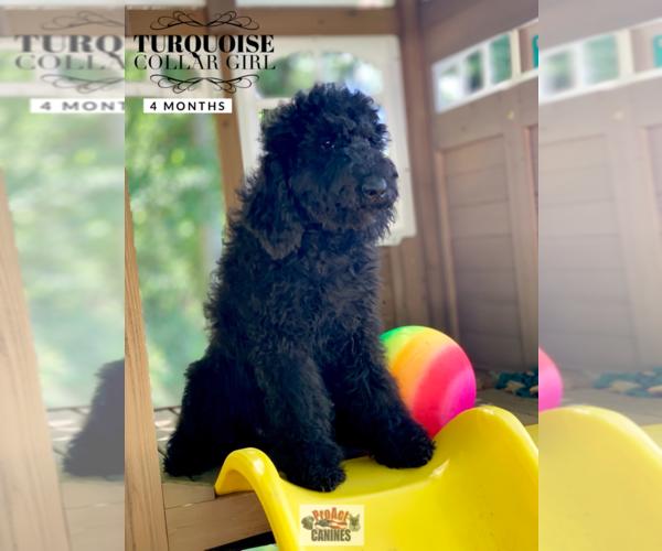 Poodle (Standard) puppy