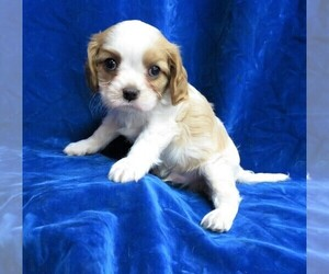 Cavalier King Charles Spaniel Puppy for sale in NORWOOD, MO, USA