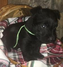 Scottish Terrier Puppy for sale in THATCHER, ID, USA