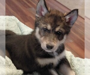 Wolf Hybrid Puppy for sale in BYBEE, TN, USA