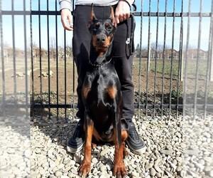 Doberman Pinscher Puppy for sale in KATY, TX, USA