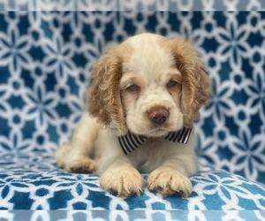 Cocker Spaniel Puppy for sale in LAKELAND, FL, USA