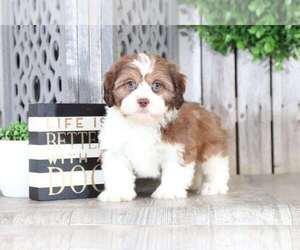 Cava-Tzu Dog for Adoption in MOUNT VERNON, Ohio USA