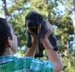 Weimaraner Puppy For Sale in HARRISON, Arkansas,